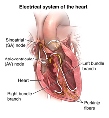 Anterior cut of heart showing normal, healthy heart and conduction system with arrows